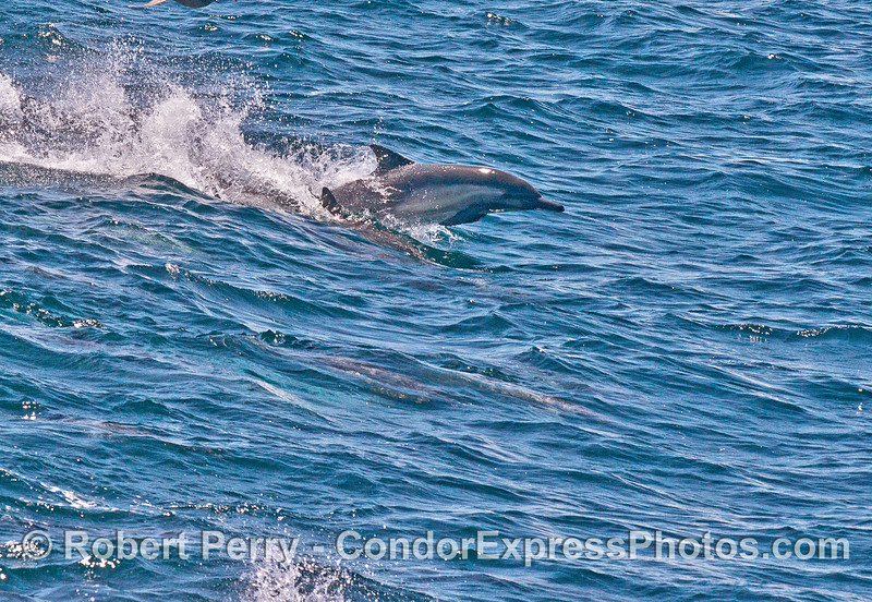 Long-beaked common dolphins race along with an open ocean wave caused by a passing container cargo ship