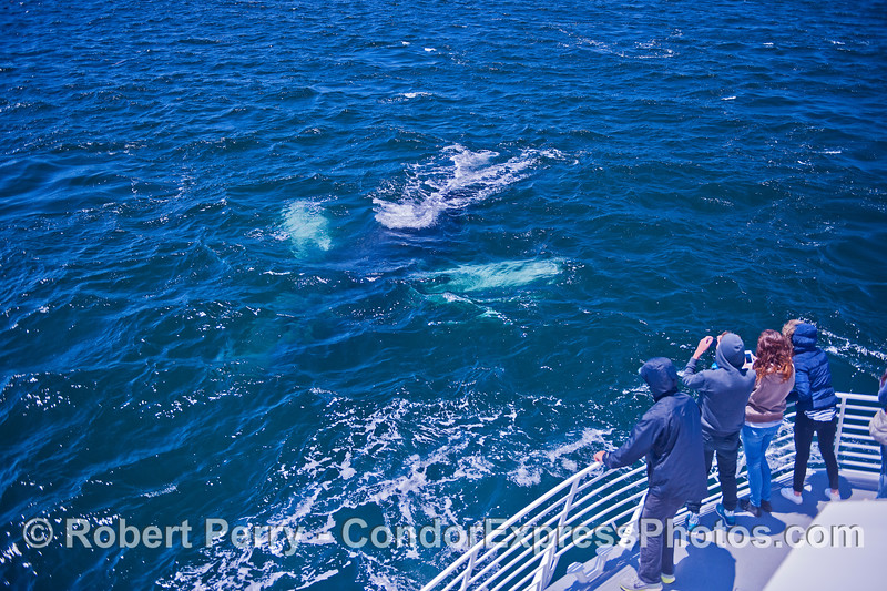 A white-pectoral humpback dives very close to its fans on the Condor Express