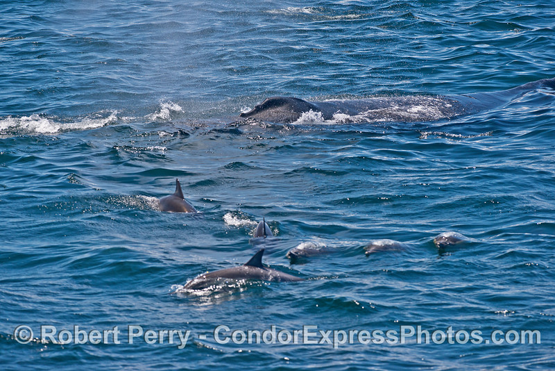 A humpback whale with plenty of company in the form of long-beaked common dolphins