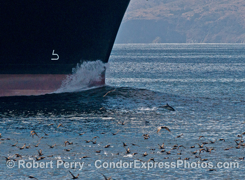 "A common dolphin leaps along near the bow wave of the container cargo vessel ""NYK Triton""    A flock of sooty shearwaters can also be seen."