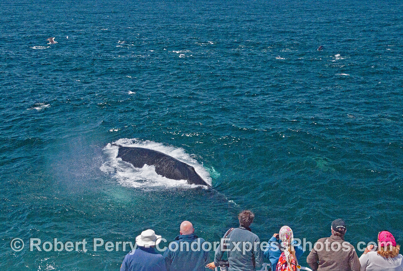 A surprise surfacing very close to the humpback whale fan club
