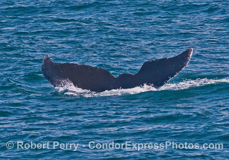 Image 4 of 4 - humpback tail fluke sequence.