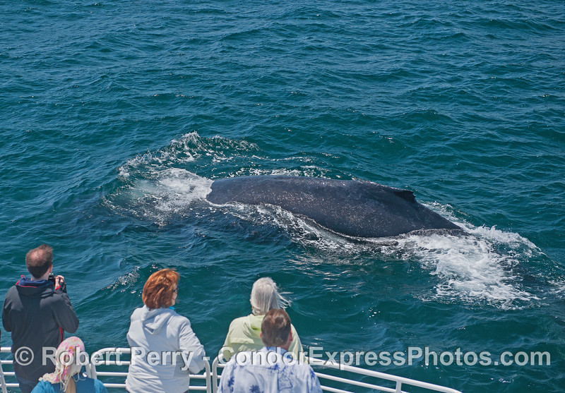 Humpback whale makes a friendly approach
