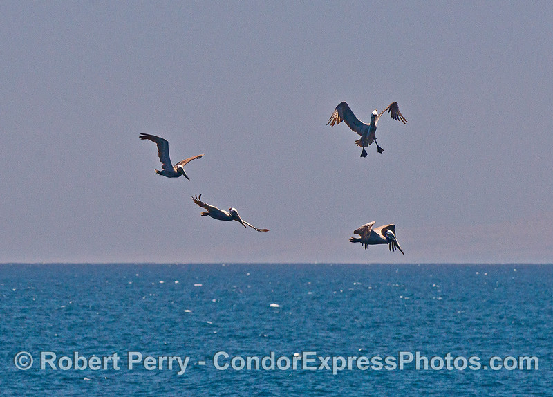 Brown pelicans in flight