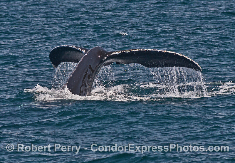 Image 2 of 4 - humpback tail fluke sequence.