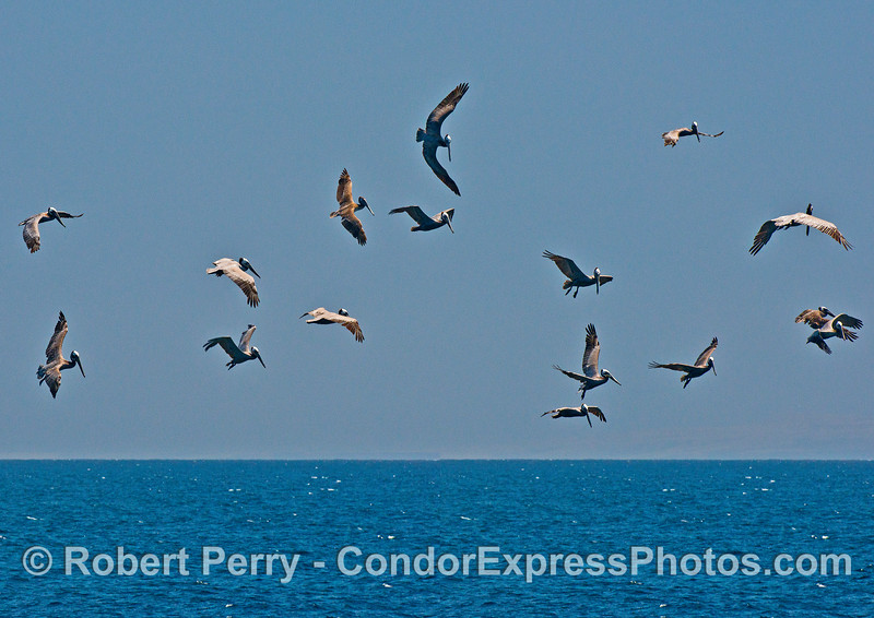 A sky full of brown pelicans...what could be better?