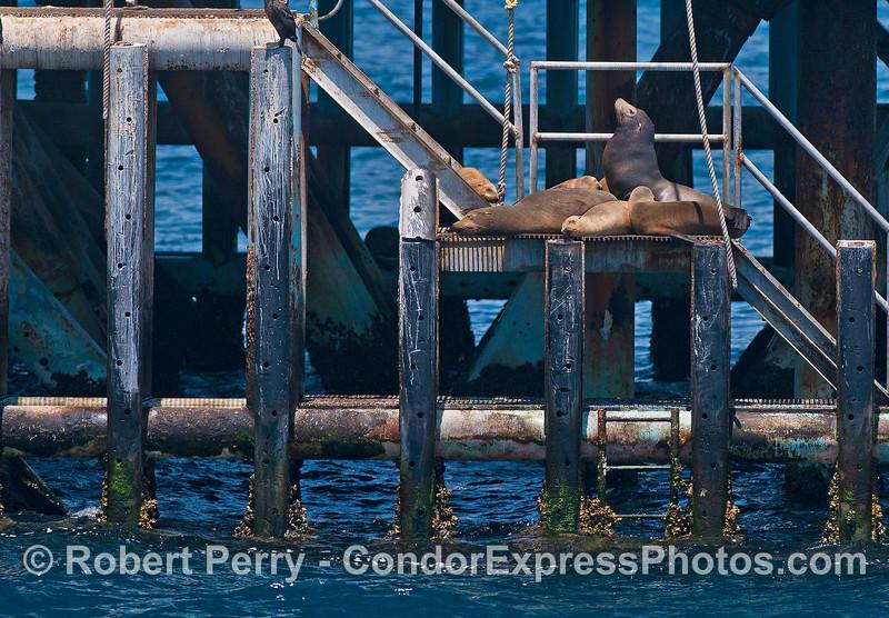 California sea lions resting on offshore oil platform Charlie