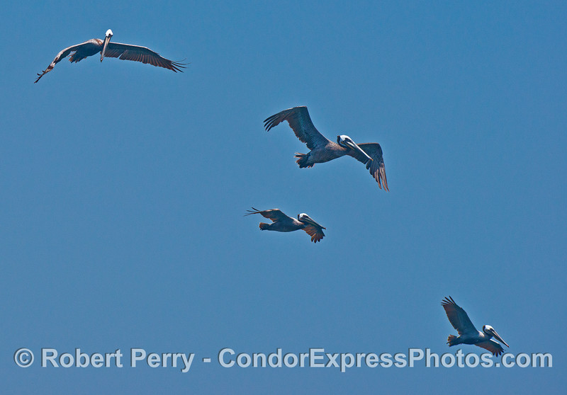 Squadron of 4 brown pelicans