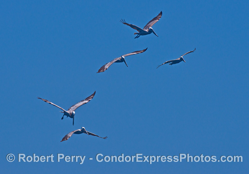 Squadron of 5 brown pelicans
