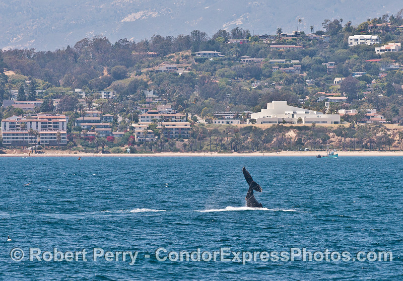 Shoreline drive gets a spectacular view of a tail-slapping humpback whale
