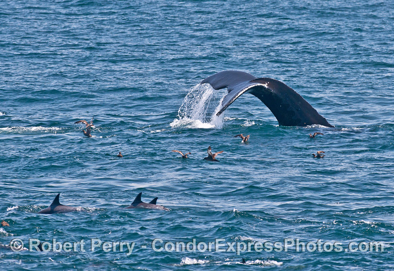 Sooty shearwaters, common dolphins and a humpback tail