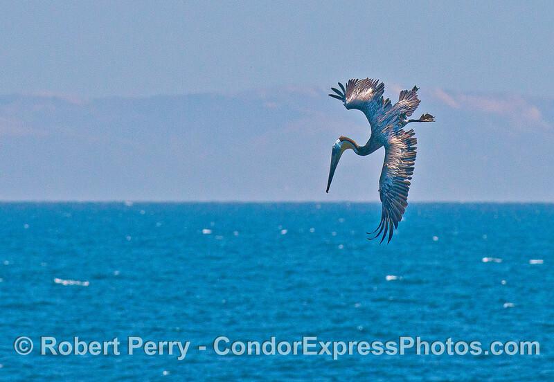 Brown pelican caught in mid-air as it begins a crash dive