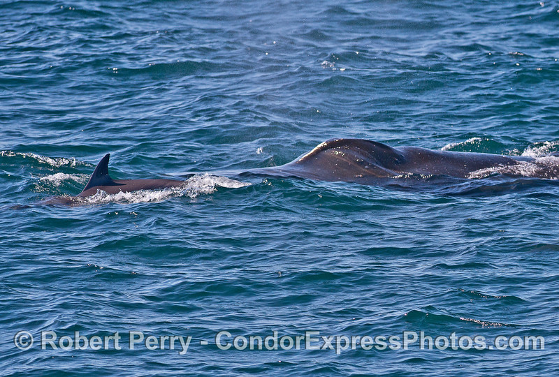 Humpback whale with a long-beaked common dolphin sentinel.