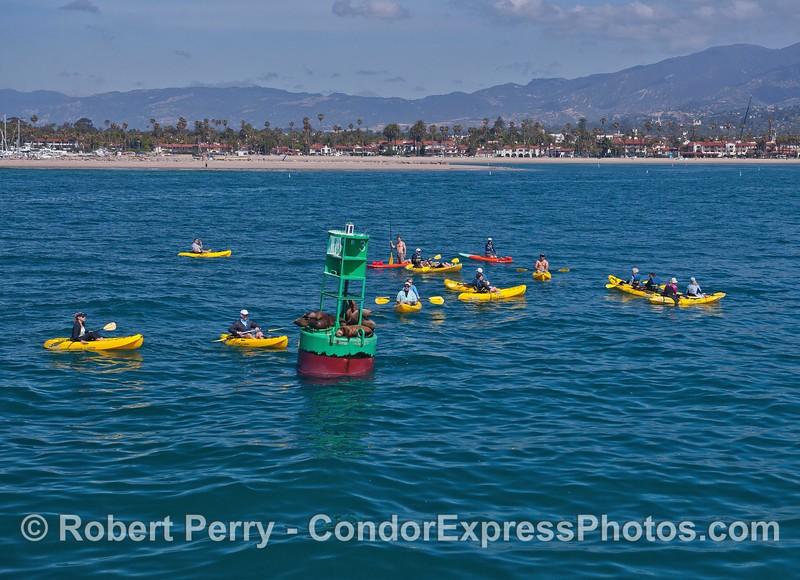 Kayaks mob California sea lions seeking solitude on the harbor buoy - Santa Barbara