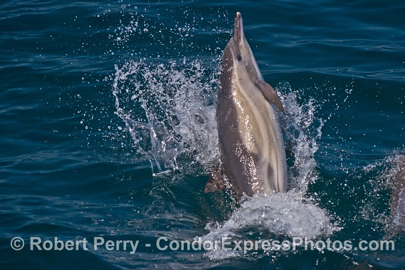 Image 1 of 3:   a long-beaked common dolphin reacts to another dolphin by leaping sideways then slamming down on the water.  This occurred right off the bow of the Condor Express.