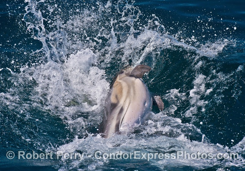 Image 3 of 3:   a long-beaked common dolphin reacts to another dolphin by leaping sideways then slamming down on the water.  This occurred right off the bow of the Condor Express.