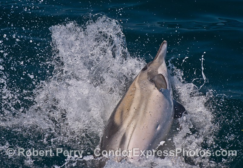 Image 2 of 3:   a long-beaked common dolphin reacts to another dolphin by leaping sideways then slamming down on the water.  This occurred right off the bow of the Condor Express.