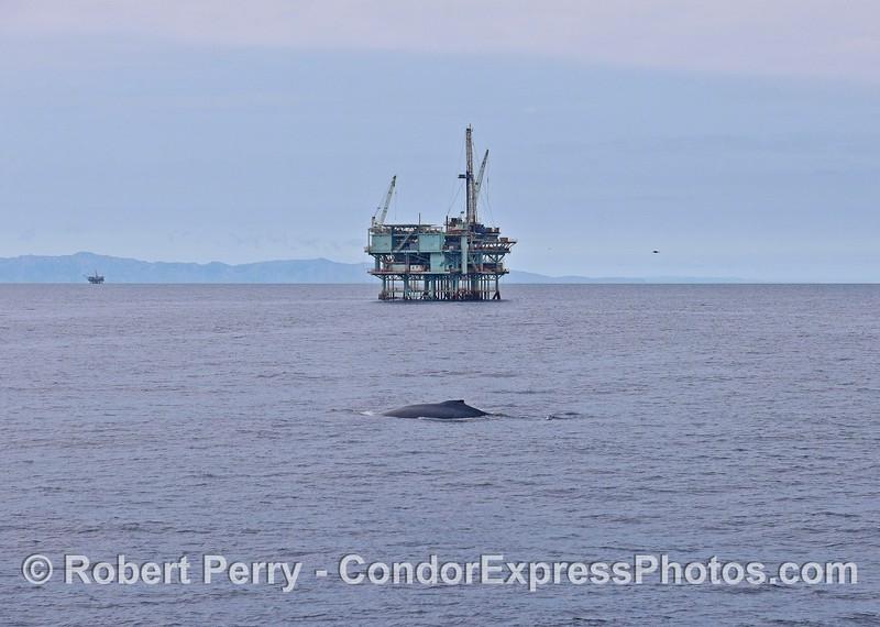 Humpack whale and platform Henry