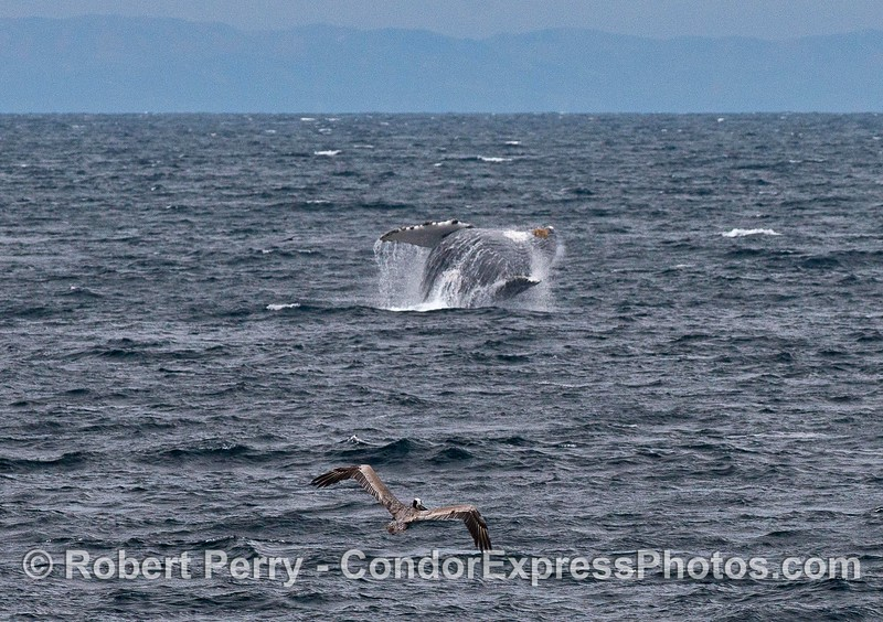 In the distance, a humpback whale breaches on a windy ocean surface