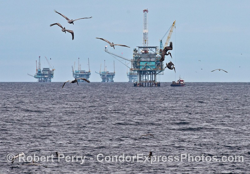 Brown pelicans and oil platforms