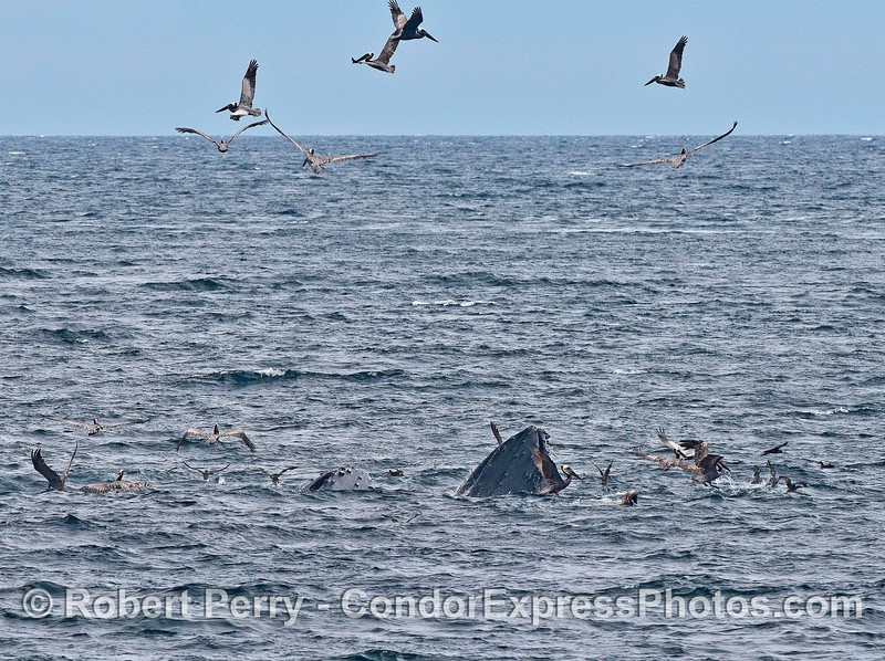 Two surface lunge feeding humpback whales and brown pelicans all around