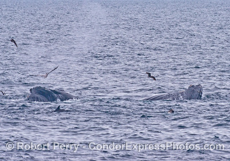 Two surface lunge feeding humpback whales