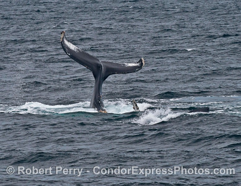 A tail throwing humpback is upside down and the tips of its pectoral fins can be seen
