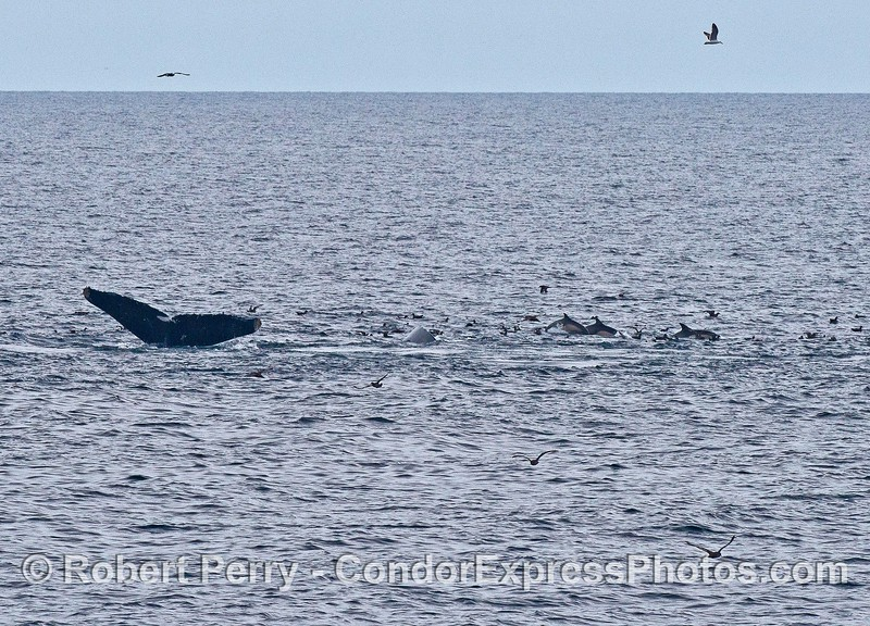 Humpback whale tail and lots of long-beaked common dolphins
