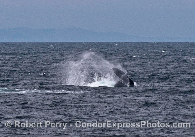 Humpback whale tail throw in the wind