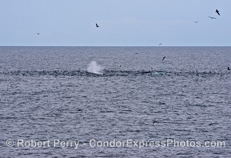 "A ""hot spot"" full of shearwaters and other sea birds attracts a couple of humpback whales"