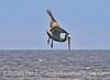 Crash diving pelican