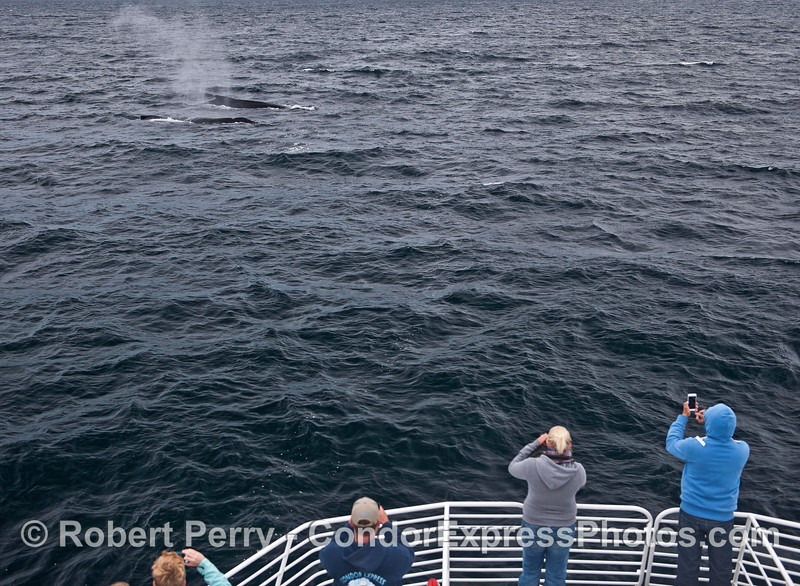 Two humpack whales visit their fans on the bow of the Condor Express