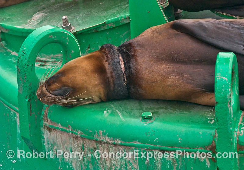 Neclace wound from an entanglement that wraps the neck of this California sea lion