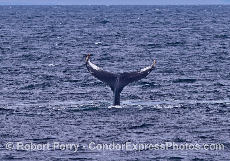Tail throwing humpback