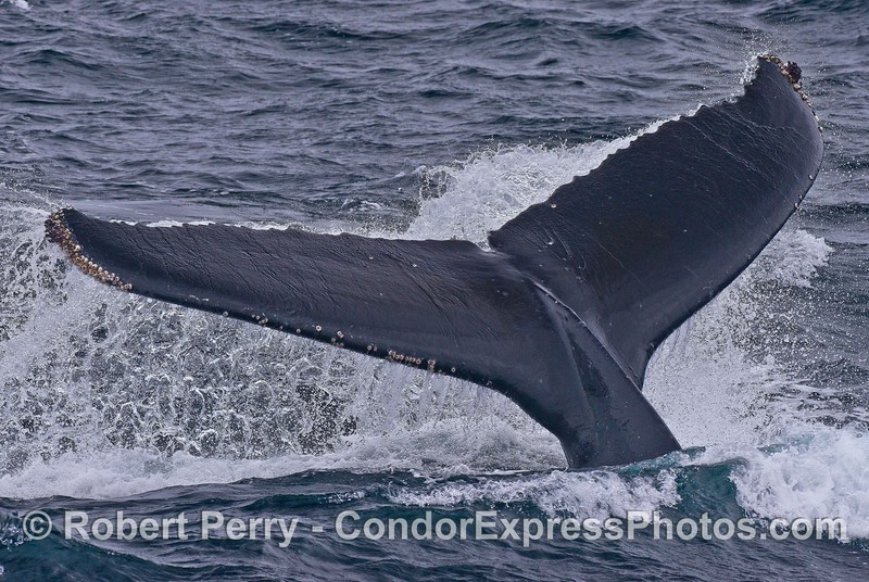Close look at the tail flukes of a humpback whale