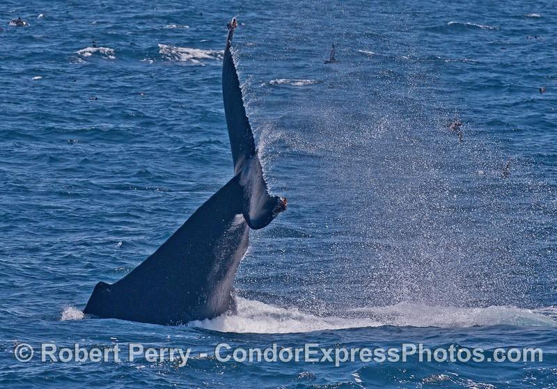 Humpback whale tail throw