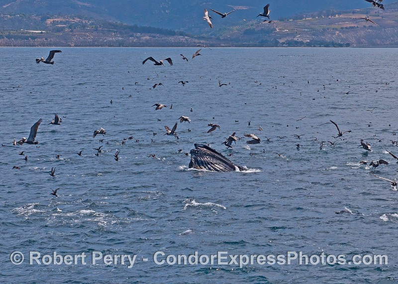 Image 1 of 3 in a row:   Scarlet the humpback whale lunge feeds on the surface and gets the birds all excited