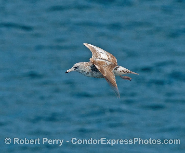 Young glaucous gull in flight