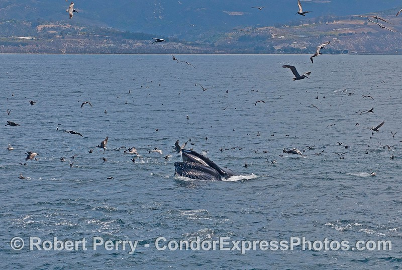 Image 2 of 3 in a row:   Scarlet the humpback whale lunge feeds on the surface and gets the birds all excited