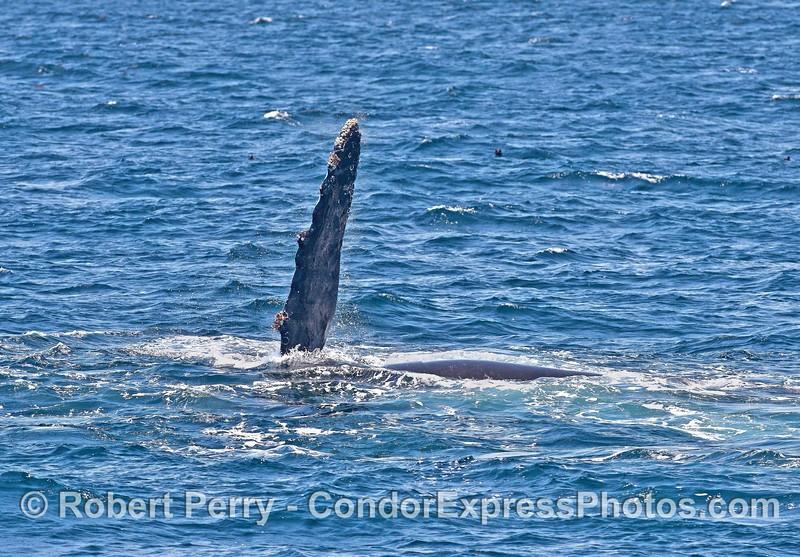 Humpback whale pectoral fin - animal is on its side