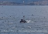 Image 3 of 3 in a row:   Scarlet the humpback whale lunge feeds on the surface and gets the birds all excited