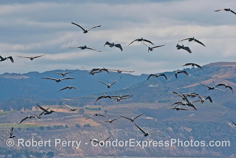 What could be more fun than a sky full of brown pelicans coming at you?