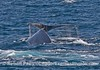 Two humpback whales begin a dive side-by-side