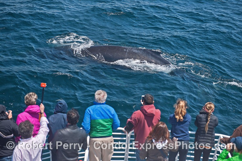 An extremely friendly close approach by a humpback whale gives great looks to the fan club on board the Condor Express