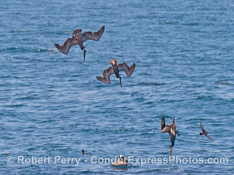 Brown pelican crash dive sequence.  Imagine jumping off a high cliff and getting smashed in the face every time you wanted to take a bite of food.