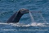 "Humpback tail flukes waterfall - reveals killer whale ""rake"" scars on the bottom"