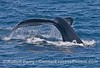 Tail flukes waterfall - humpback whale
