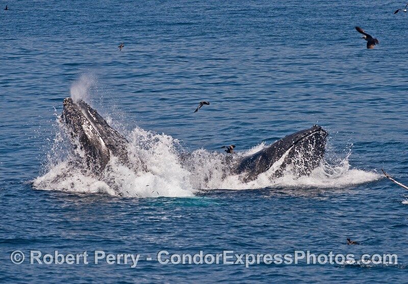 Small anchovies can be seen in the foamy water exiting the mouths of these two surface lunge feeding humpback whales
