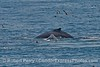 Two humpback whales and various sea birds