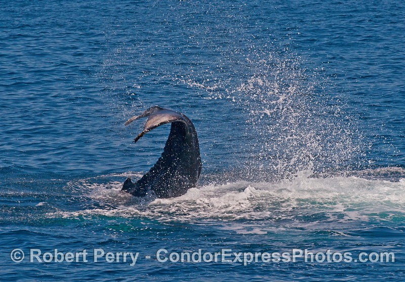 A humpback whale calf shows its extreme flexibility during a tail slapping marathon